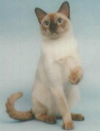 Tonkinese Kittens | British Shorthair Kittens - Innocentia Cattery
