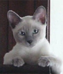 Blue Tonkinese Cats
